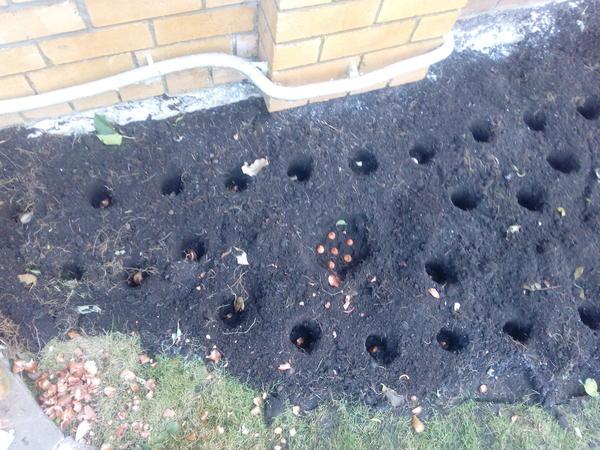История о том, как я посадила 750(!) тюльпанов