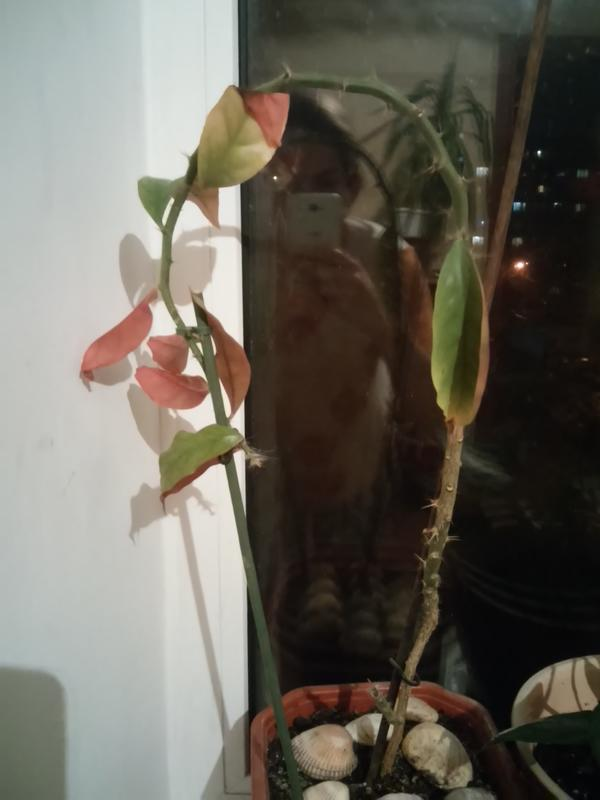 Что за растение? Подскажите пожалуйста! Опадают листья не знаю как за ним ухаживать