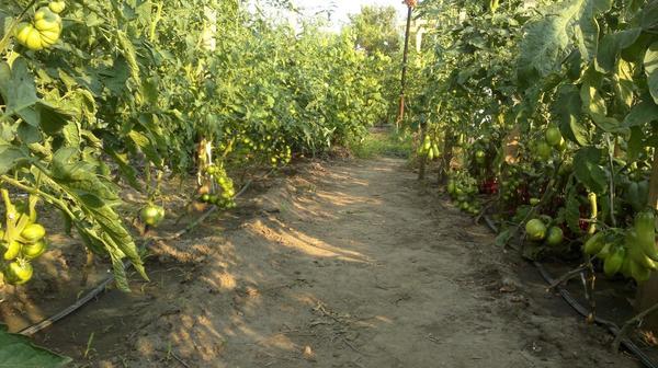 Тут томаты зелёные в прошлом году.