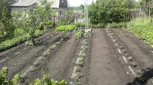 Недавно высаженные томаты с внесёнными удобрениями у меня на даче.