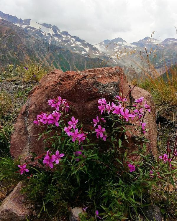 Цветы в горах Северного Кавказа