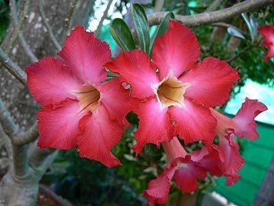 привёз из Таиланда вот такой кустарник, кто знает как он называется? подскажите пожалуйста, незнаю как его посадить в какую землю и прочие нюансы выращивания.