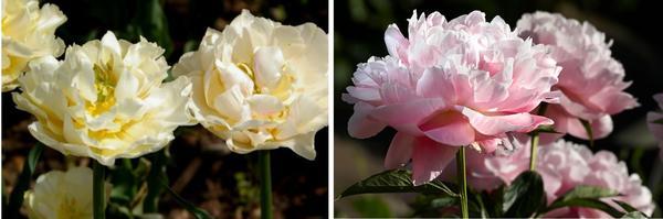 Тюльпан садовый сорт Montreux, фото автора. Махровые пионы