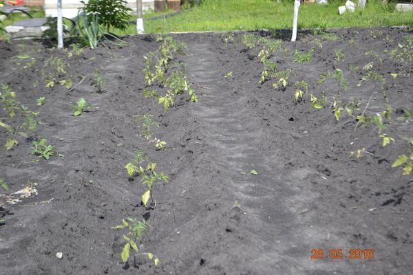 Вот так В бороздку сажаю,затем по мере роста окучиваю и между рядами образуется бороздка и по бороздке поливаю по мере необходимости.