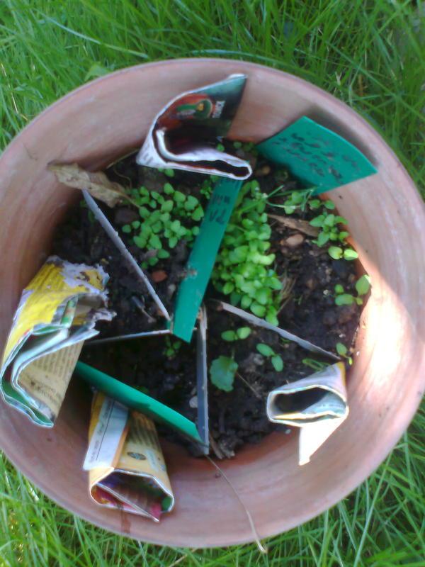 Всходы. Зимняя (6 месячная, естественная) стратификация. Семена частью свои (зеленый шильдик) частью пакеты.