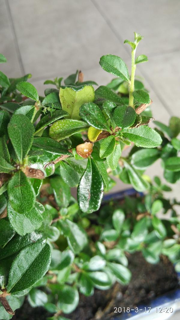 Листья  желтеют и коричнеевеют. Так же есть мелкие черные пятнышки.