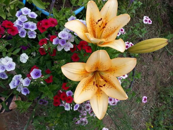 Лилии и однолетние флоксы