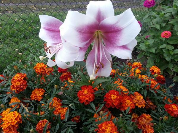 лилии и бархатцы