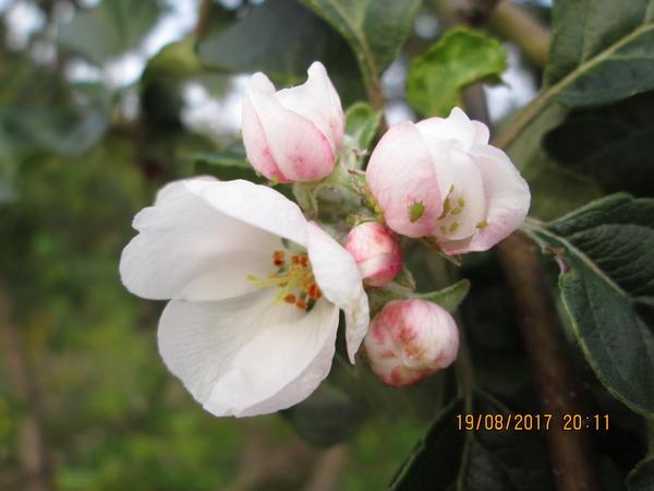 Августовские цветы на яблоне