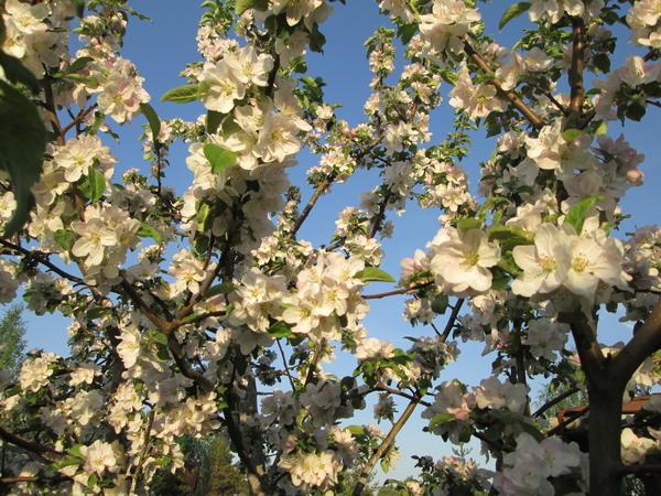 Яблоневое кружево
