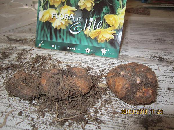 Сухие (гнилые ? ) луковицы бегоний