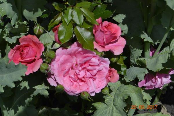 А роза называется бордюрная,она низкорослая.