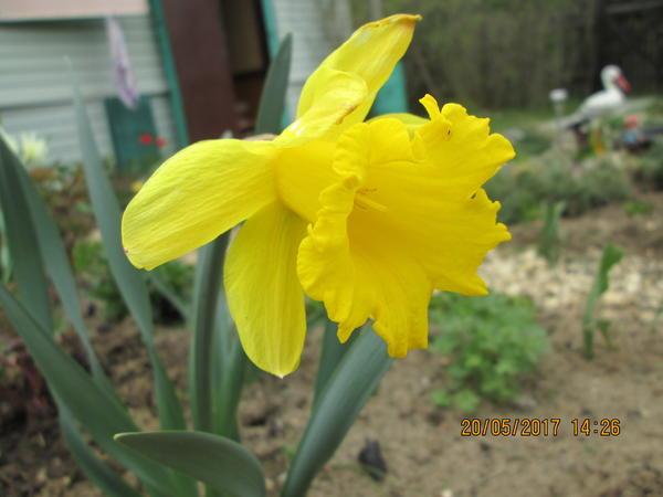 Нарцисс трубчатый