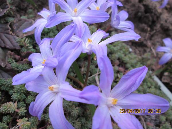 Цветы Хионодоксы