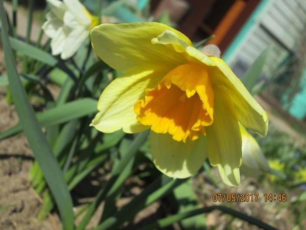 Нарцисс корончатый
