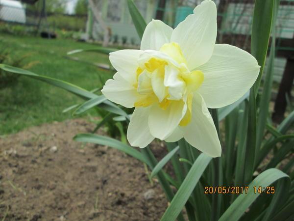Нарцисс махровый белый