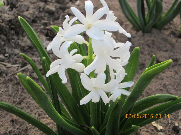 Гиацинт белый