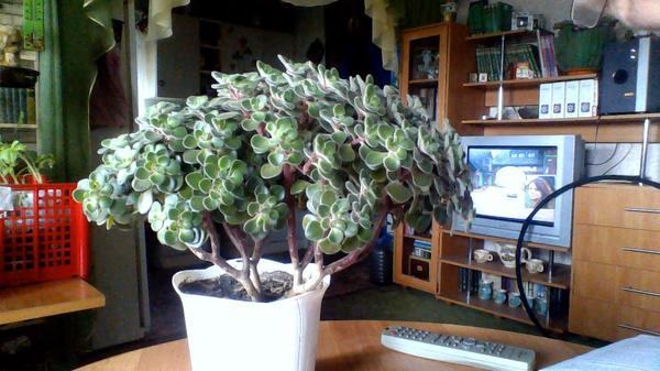 как название этого растения ?