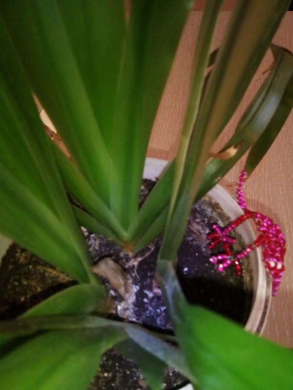 Растения от корневища растут плоско как веер.