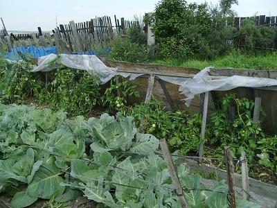 до теплицы сажала помидоры в такие домики, для защиты от ветров. В теплице сажаю в три раза кустов меньше, а урожай такой же и стабильнее, но сорта и гибриды специально для теплиц подобраны. 2007 год.