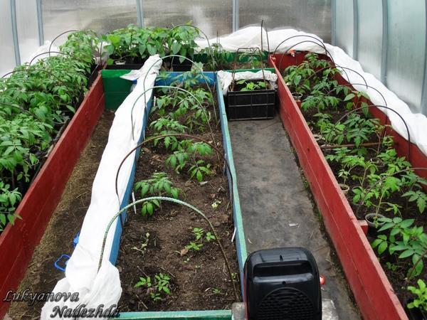 Переезд томатов в парник