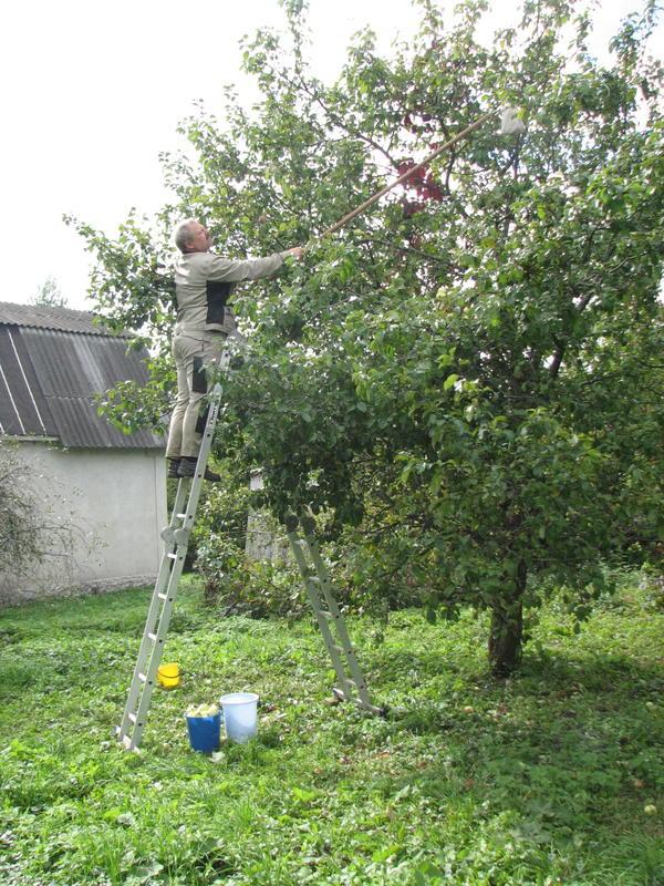 Сбор яблок с верхних веток.