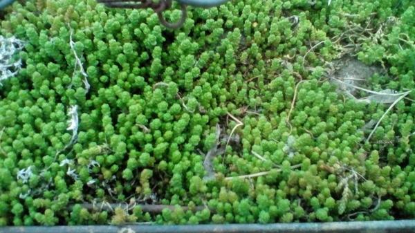Кто знает, что это за растение? думаю что мох какой то, но в инете найти ничего не могу((