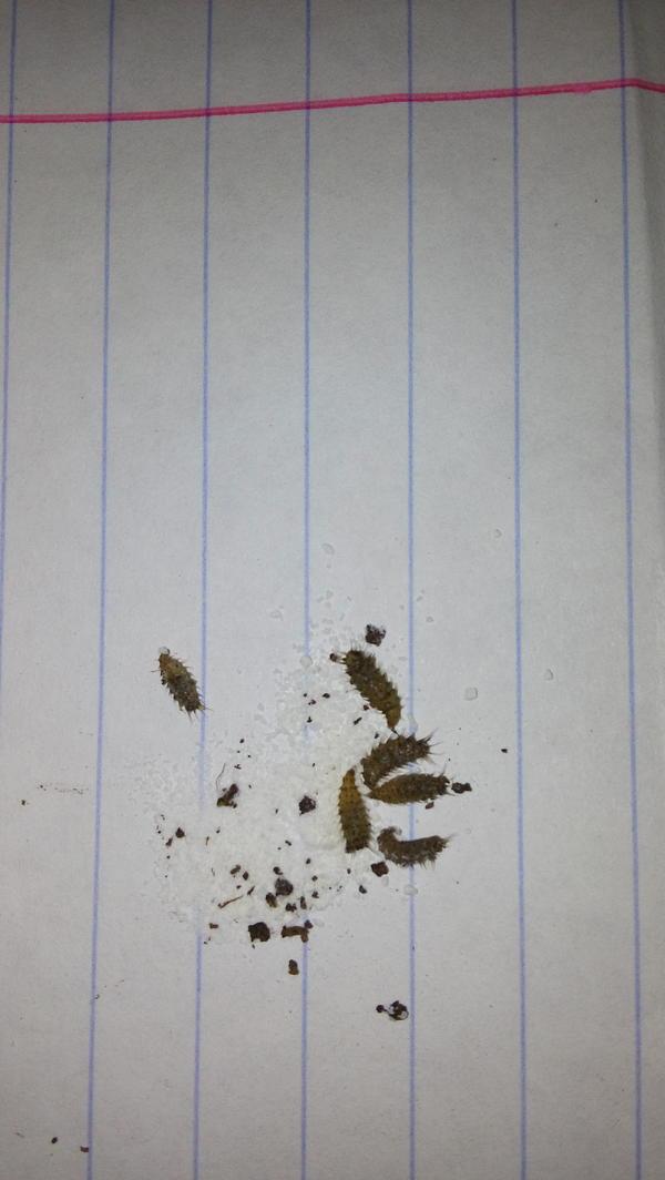 что за паразиты появились в земле при добавлении покупного грунта из кокосового ореха?