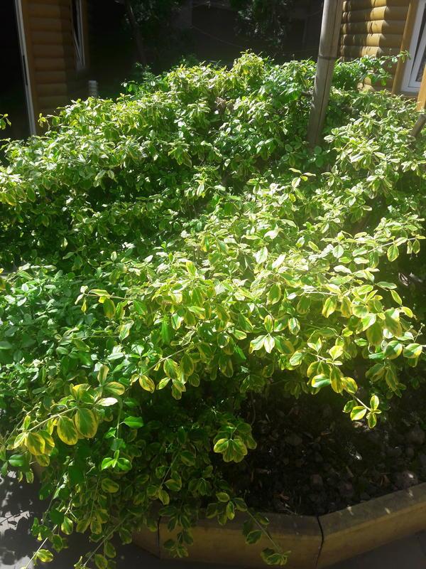 подскажите пожалуйста как называется этот куст растет во дворе дома 7 лет