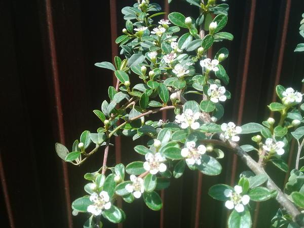 Этот вроде как вечнозеленый, цветет белыми цветочками, осегью листья не краснеют, а некоторые желтеют.