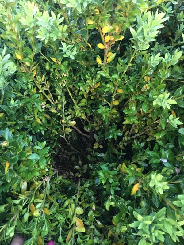 Помогите!  Осенью посадила куст уже и прирост пошол и вдруг начал желтень из нутри.  Может кто-то уже спасал своего любимца?  Подскажите!