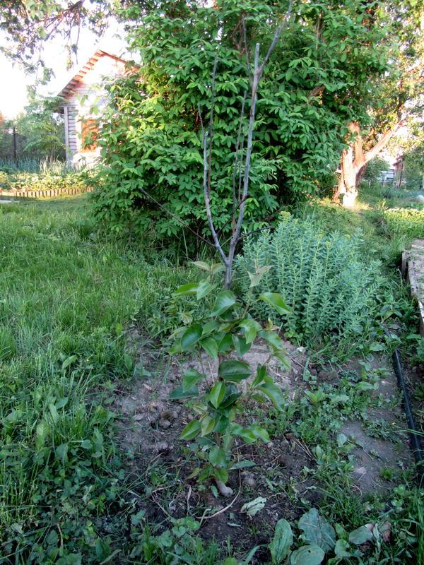 Вся груша, погибшая часть сидна над ветками с листьями