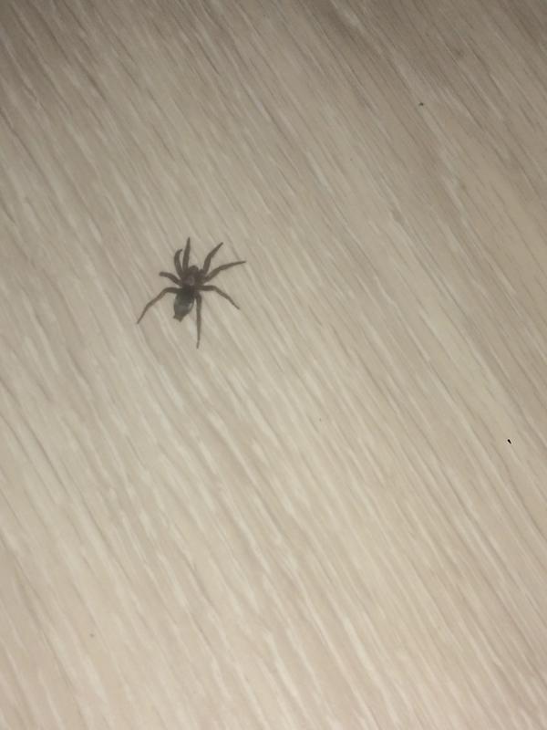 Что за паук ? Опасен ли он ???