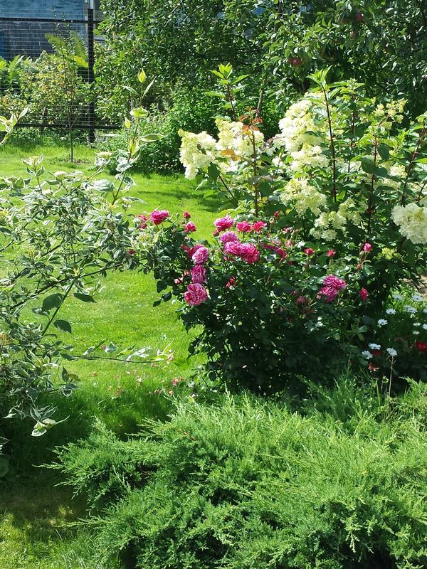 Роза Ines Sastr
