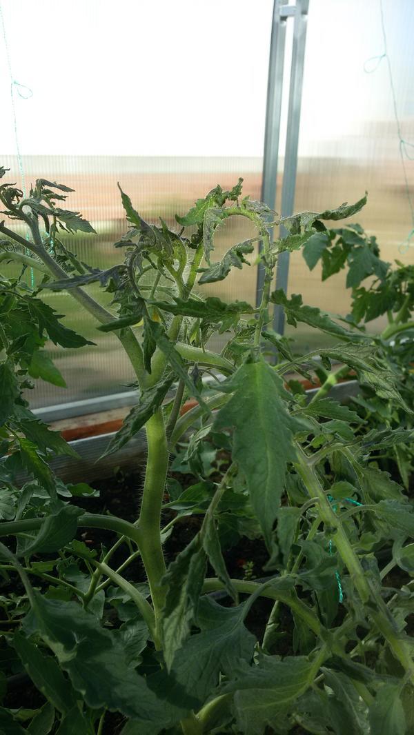 Мельчают верхние листья томатов.