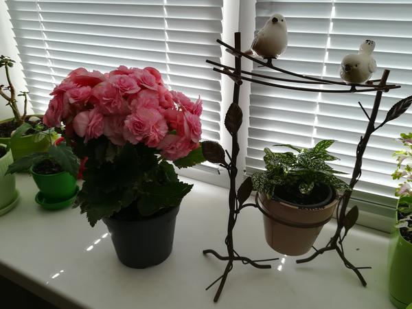 Подскажите пожалуйста название растения с розовымы цветочками