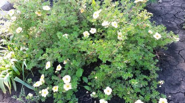 Низкорослый Цветки нежно-желтые