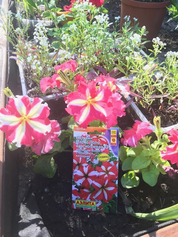 27.5 Прошло всего ничего времени, но растение явно ожило! Совершенно изумительная расцветка!