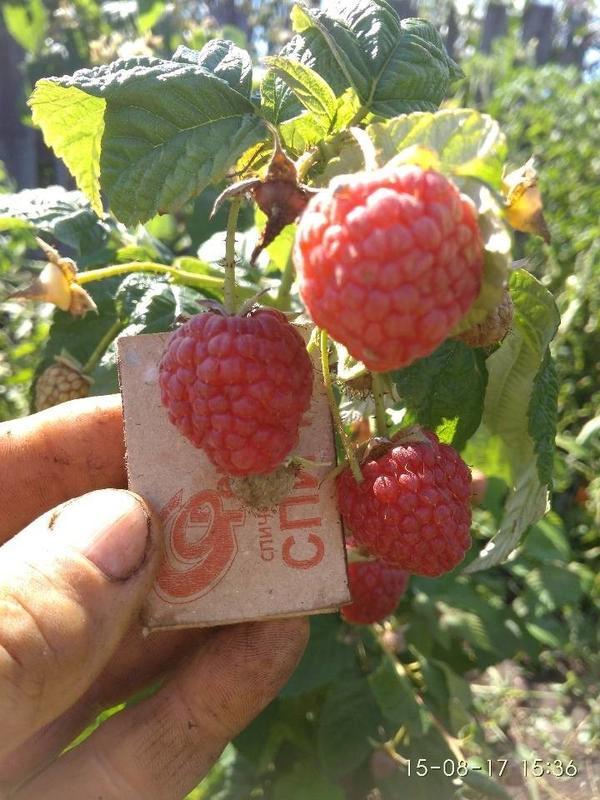 У Изобильной ягоды удлиненные,а эти круглые.