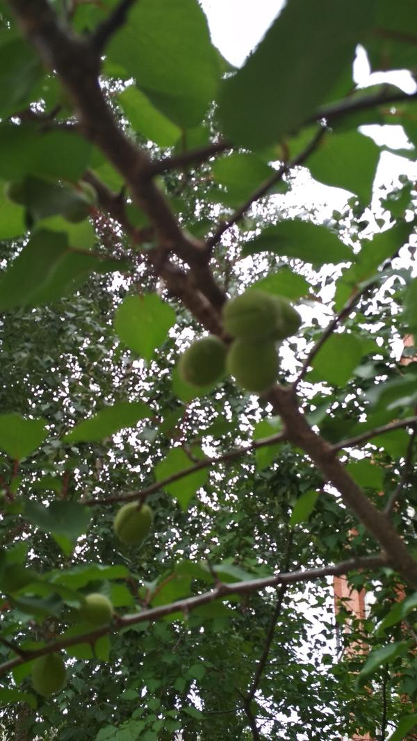 Растет ли абрикос на Волге?