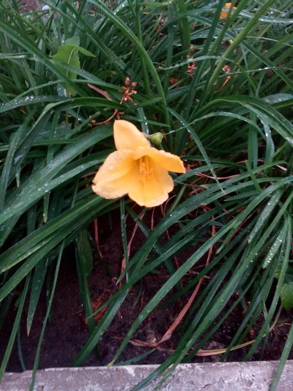 Высота растения 25 см
