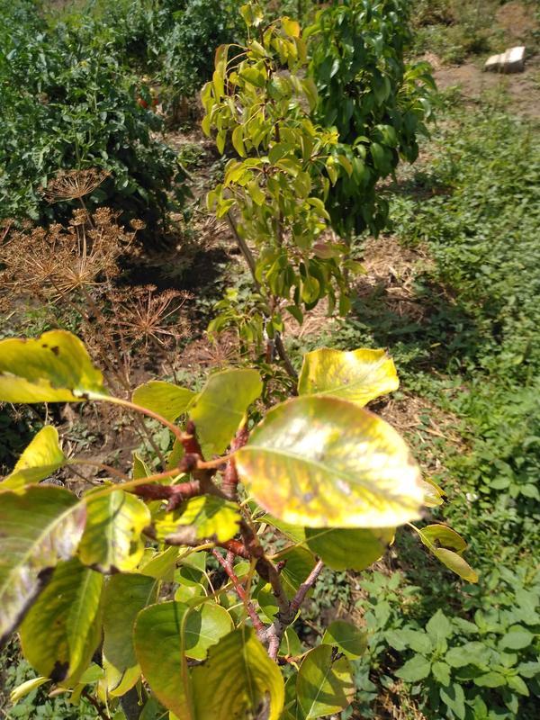 Дюшес, дальше колоновидные здоровые, с плодами