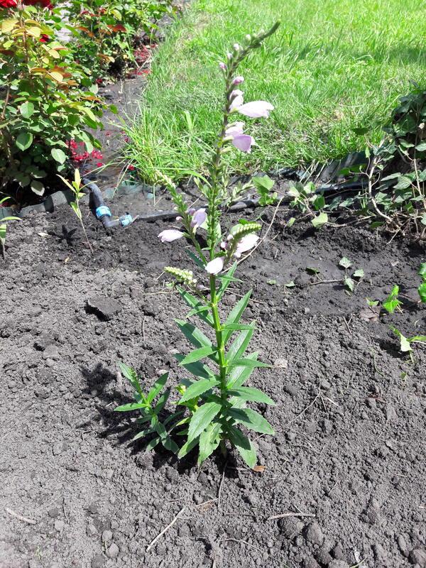 Многолетнее растение