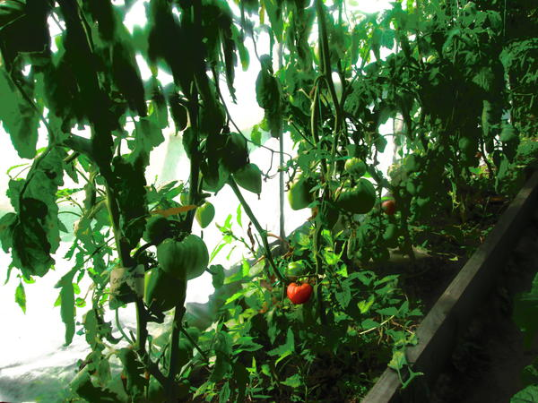 Сокровище  первый небольшой плодик покраснел. рядом красавцы еще думают.