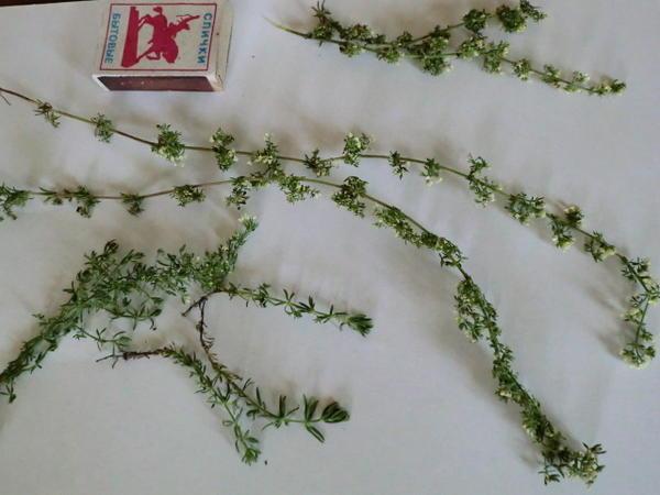 дикорастущее растение на лугах