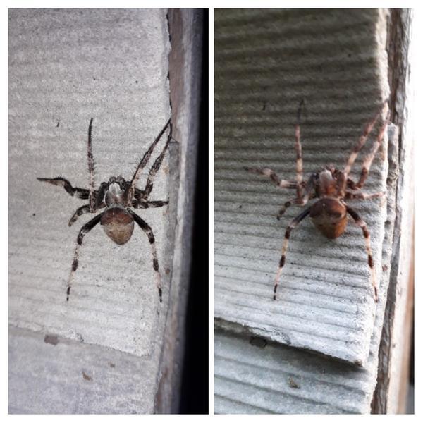 Подскажите пожалуйста, что это за паук?! Слева со вспышкой, справа обычное фото.
