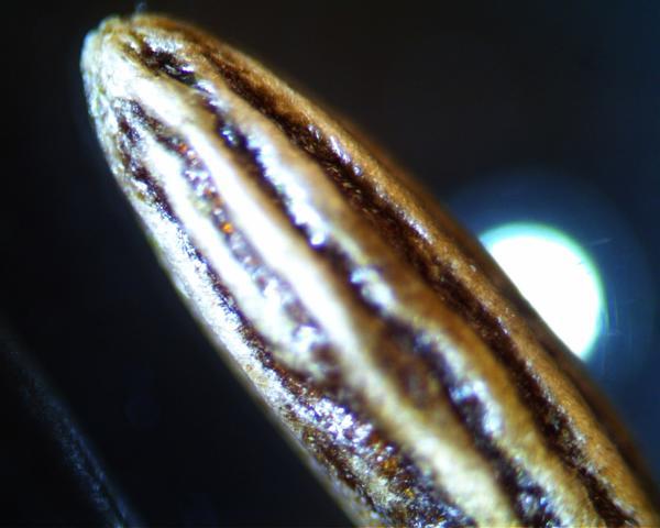 Семечко культуры , продолговатое  0,5-0,8 мм длинны