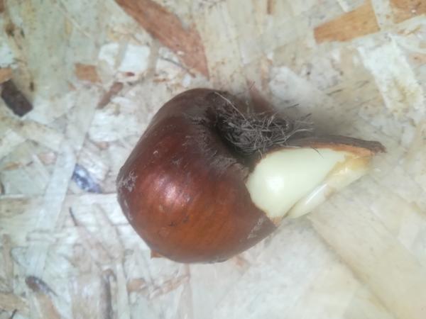 Луковица (вид сбоку)