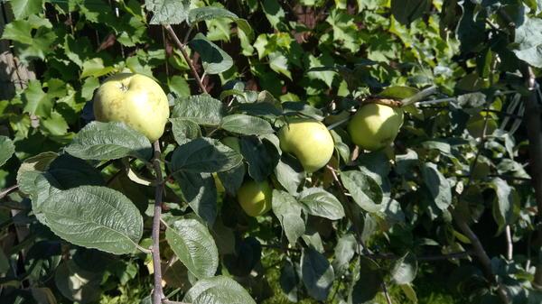 Молодой яблоньке всего 2 года, но яблоки даёт уже размером с кулак!))