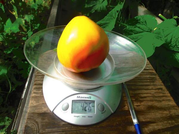 Вес одного томата Сокровище инков